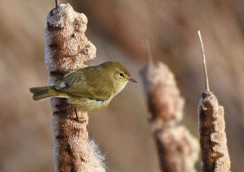 Chiffchaff in January