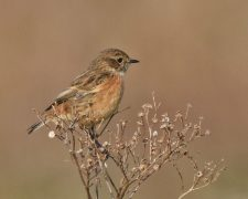 Female Stonechat RSPB Dungeness