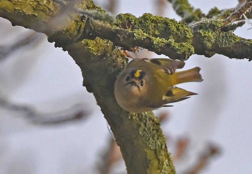 Goldcrest looks at Camera