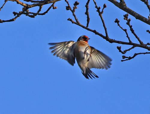 Goldfinch flying on to branch