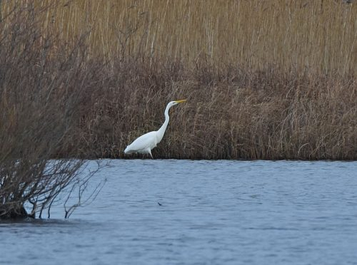 Great White Egret ARC Dungeness