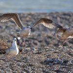 Gulls taking off on Dungeness Beach