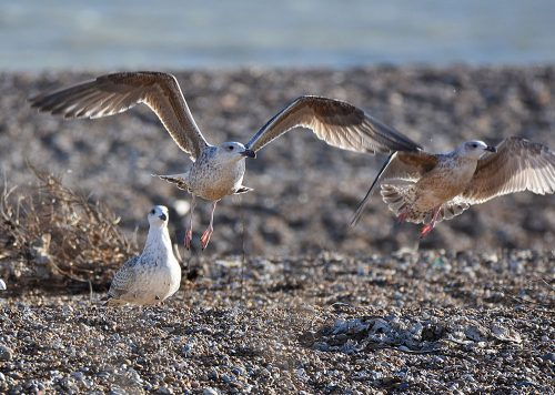 Gulls taking off on Dungeness Beach