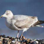 Juvenile Gull Dungeness beach