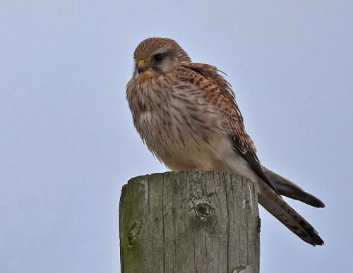 Kestrel on Walland Marsh