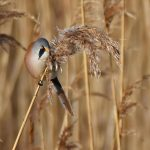 Male Bearded Tit on Reeds