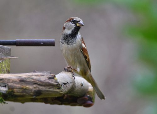 Male House Sparrow on Bird Table