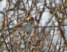 Male Reed Bunting (ringed)