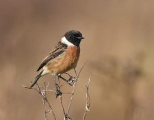 Male-Stonechat-RSPB-Dungeness