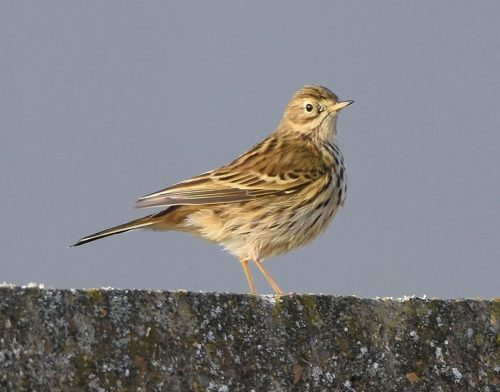 Meadow Pipit at Dungeness
