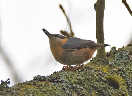 Nuthatch on Tree