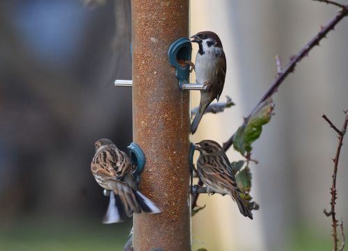 Tree Sparrow on Feeder