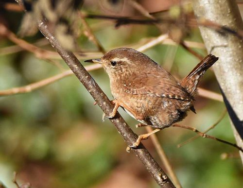 Wren in late afternoon Sun