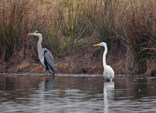 Great White Egret and Heron Conningbrook Lakes