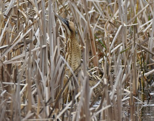 Bittern at Conningbrook Lakes
