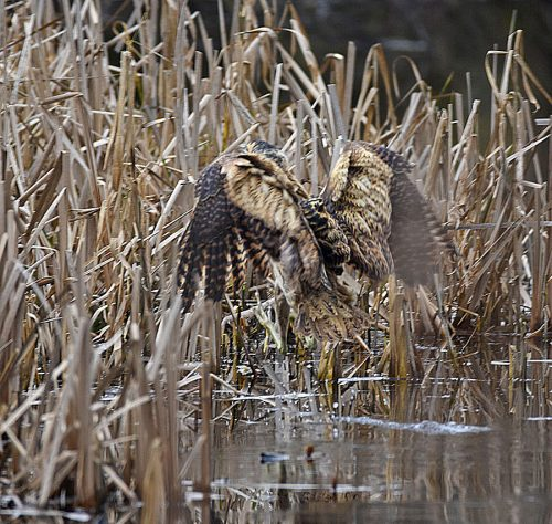 Bittern landing in Reeds