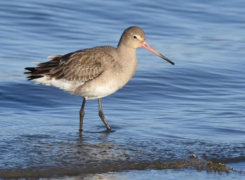 Black Tailed Godwit Warsash