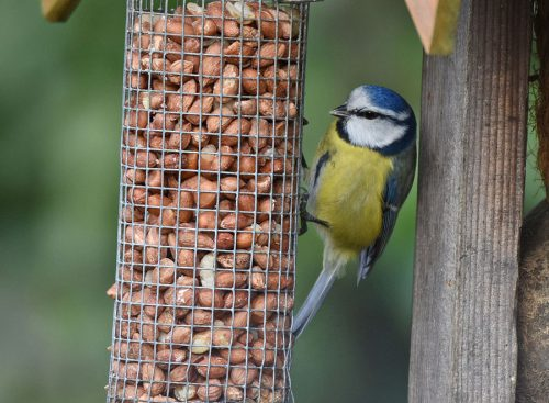 Blue Tit eating Peanuts