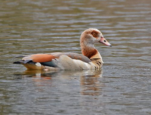 Egyptian Goose at Conningbrook Lakes