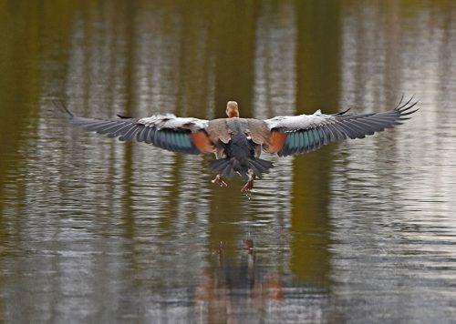 Egyptian Goose landing