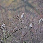 4 Waxwings on Apple Tree