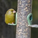 Greenfinch on Feeder