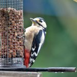 Great Spotted Woodpecker on Peanuts