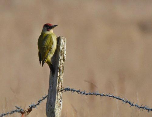 Green Woodpecker Hook in Warsash