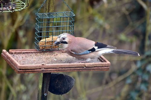 Jay on Bird Feeder