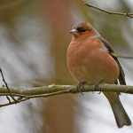 Male Chaffinch in February