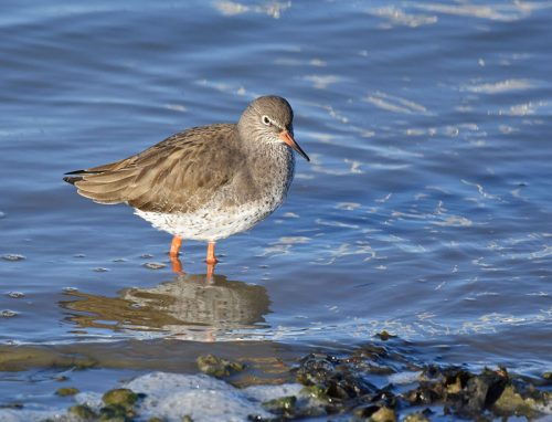 Redshank Warsash