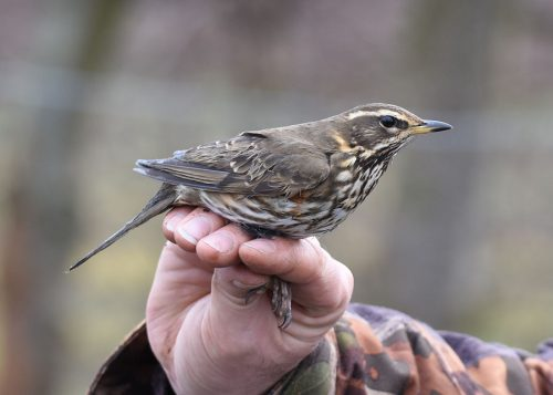 Redwing in hand for ringing
