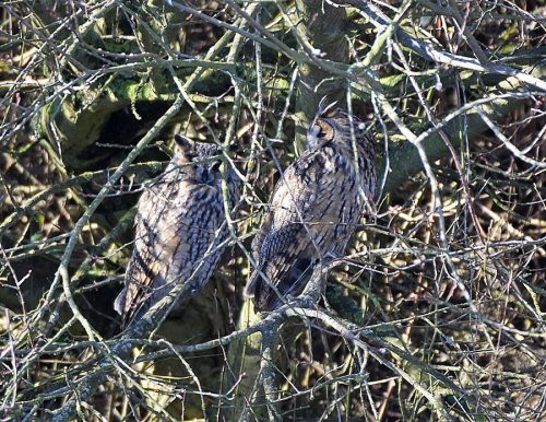 Long Eared Owls Dipping Pool Dungeness
