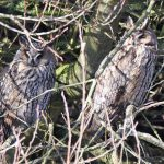 Two Long Eared Owls Dungeness