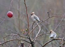 Two Waxwings on Tree