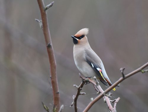 Waxwing behind East Malling Church