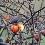 Waxwing on Apples