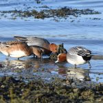 Wigeon at Warsash