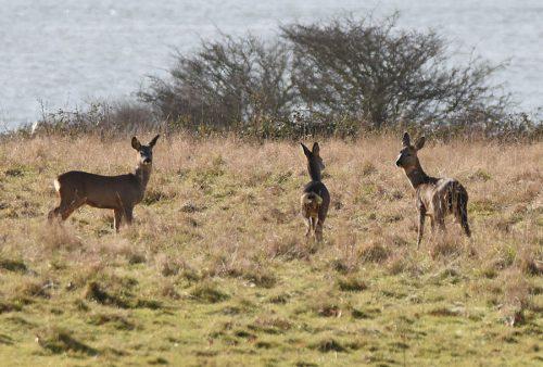 Wild Deer Hook in Warsash