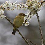 Chiffchaff in Spring Blossom