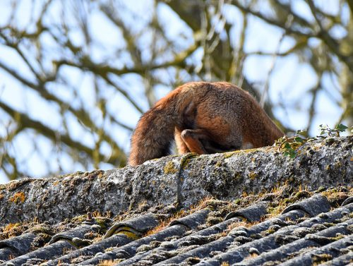 Fox getting down from Roof