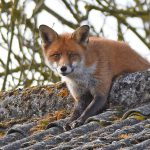 Fox watching down from Roof