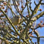 Goldcrest in Spring