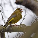 Greenfinch Singing