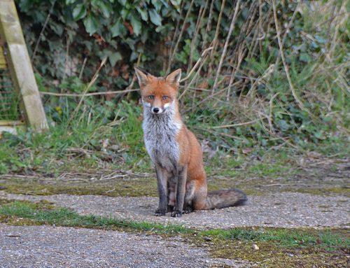 Fox waiting at Feeder