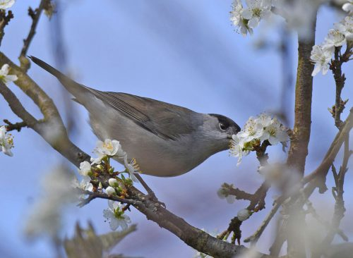 Blackcap on Blossom