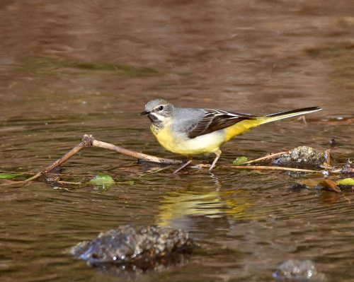 Grey Wagtail in Stream