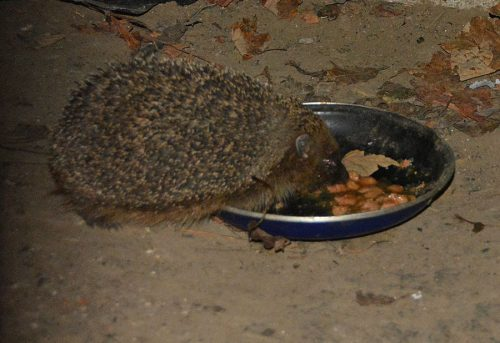 Hedgehog eating Cat Food