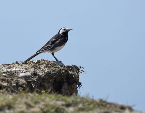 Pied Wagtail on Rock
