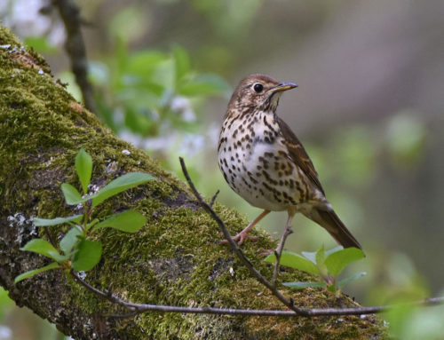 Song-Thrush-in-Garden